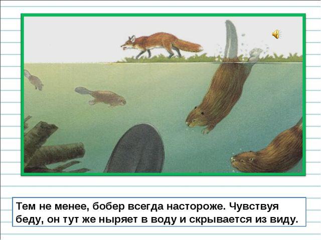 Тем не менее, бобер всегда настороже. Чувствуя беду, он тут же ныряет в воду...
