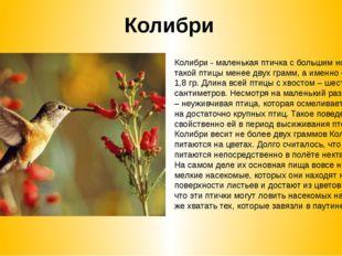 Колибри Колибри - маленькая птичка с большим носом Вес такой птицы менее двух
