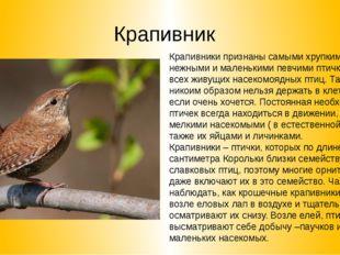 Крапивник Крапивники признаны самыми хрупкими, нежными и маленькими певчими п