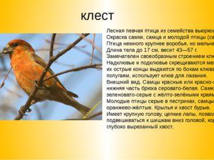 клест Лесная певчая птица из семейства вьюрковых. Окраска самки, самца и моло