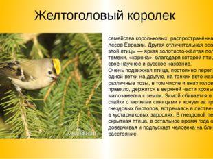 Желтоголовый королек Желтоголо́вый королёк— мелкая певчая птица семействакор