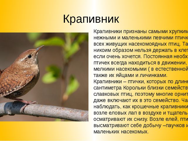 Крапивник Крапивники признаны самыми хрупкими, нежными и маленькими певчими п...