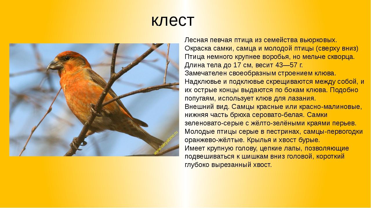 клест Лесная певчая птица из семейства вьюрковых. Окраска самки, самца и моло...