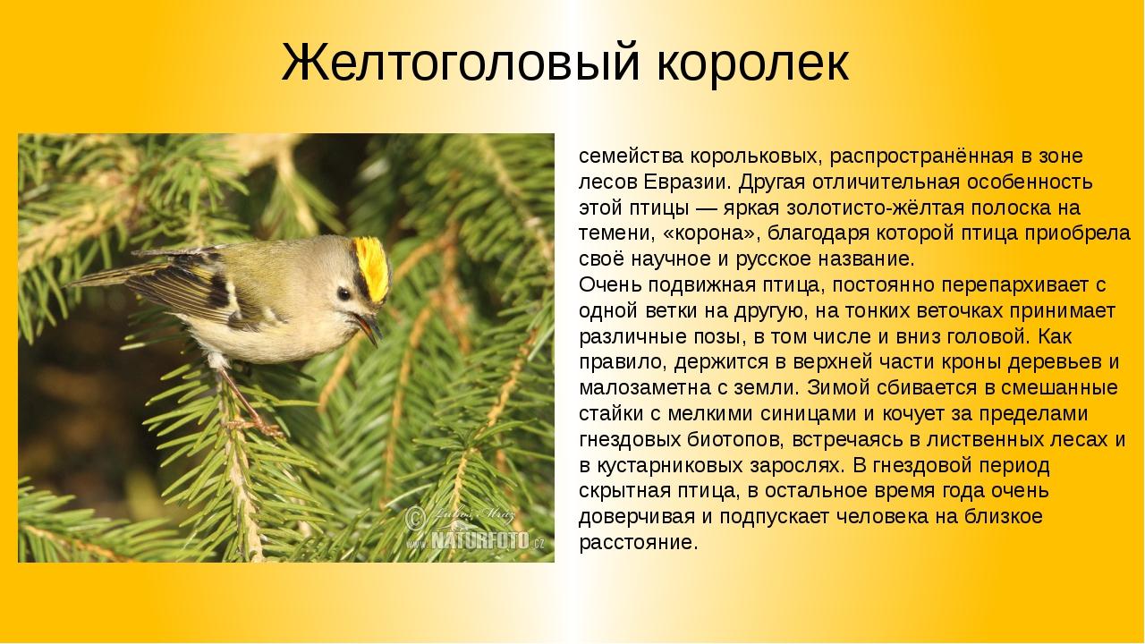 Желтоголовый королек Желтоголо́вый королёк— мелкая певчая птица семействакор...