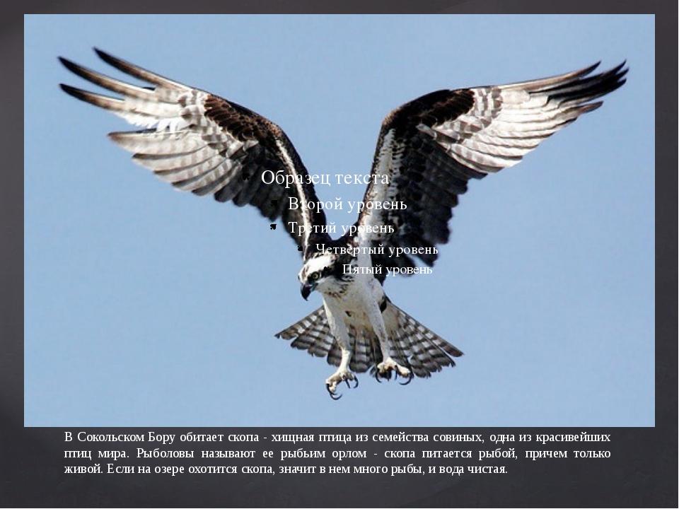 В Сокольском Бору обитает скопа - хищная птица из семейства совиных, одна из...