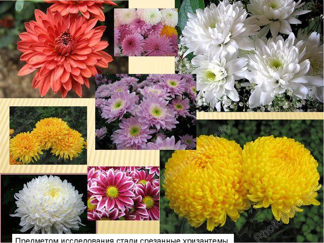 Предметом исследования стали срезанные хризантемы.
