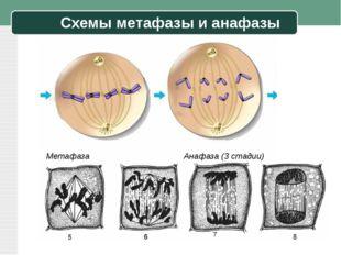 Схемы метафазы и анафазы Метафаза Анафаза (3 стадии)