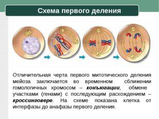 Схема первого деления Отличительная черта первого митотического деления мейоз