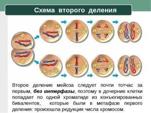 Схема второго деления Второе деление мейоза следует почти тотчас за первым, б