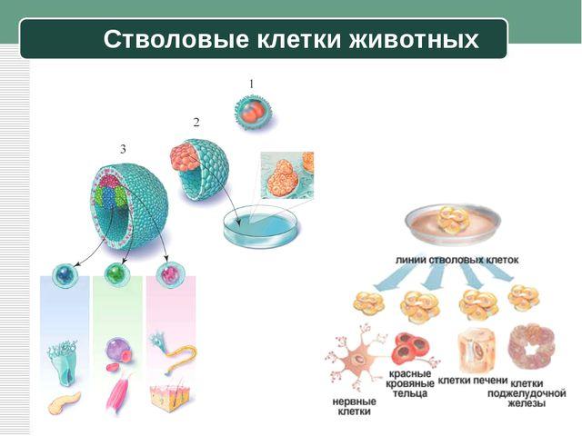 Стволовые клетки животных