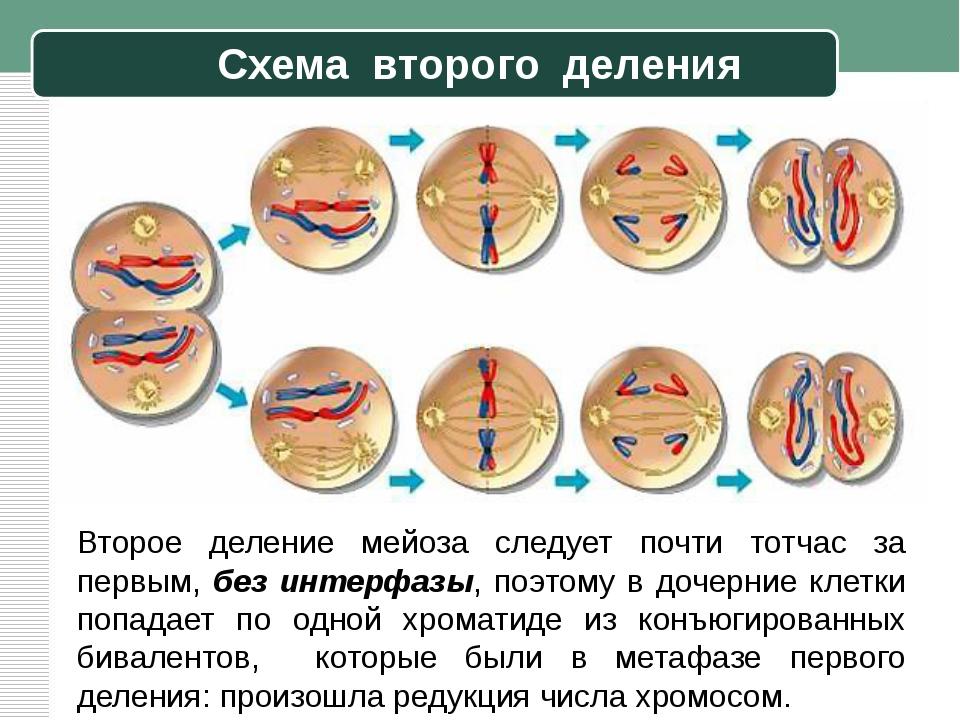 Схема второго деления Второе деление мейоза следует почти тотчас за первым, б...