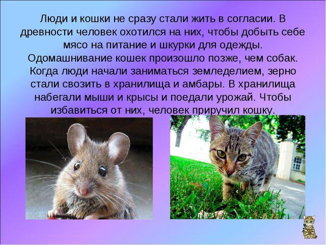 Люди и кошки не сразу стали жить в согласии. В древности человек охотился на...