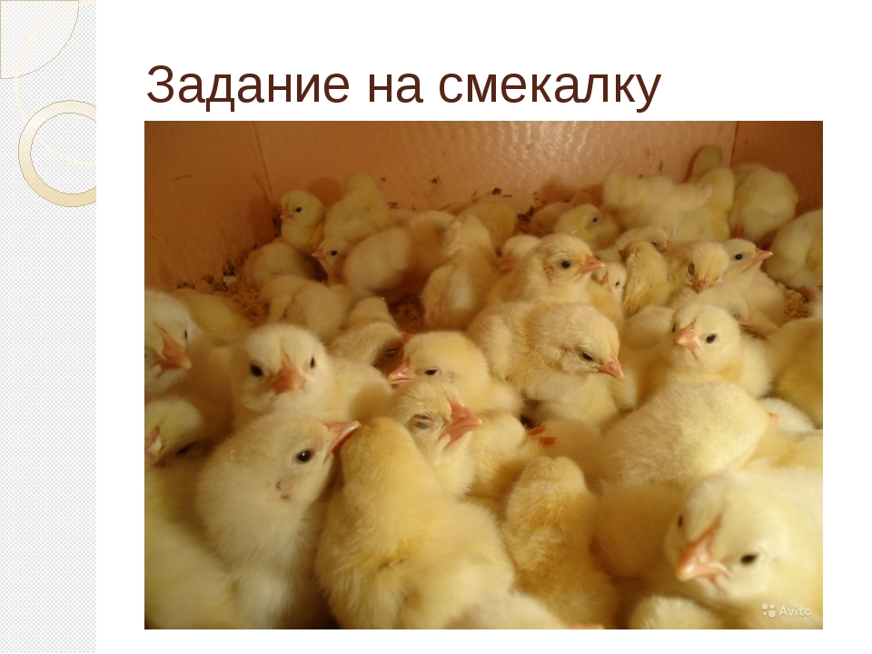 Задание на смекалку «Вылупившиеся цыплята беспомощны, они даже клевать сами н...