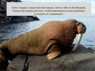 Хотя у моржа острые могучие клыки, сам по себе он безобидный. Клыки ему нужн