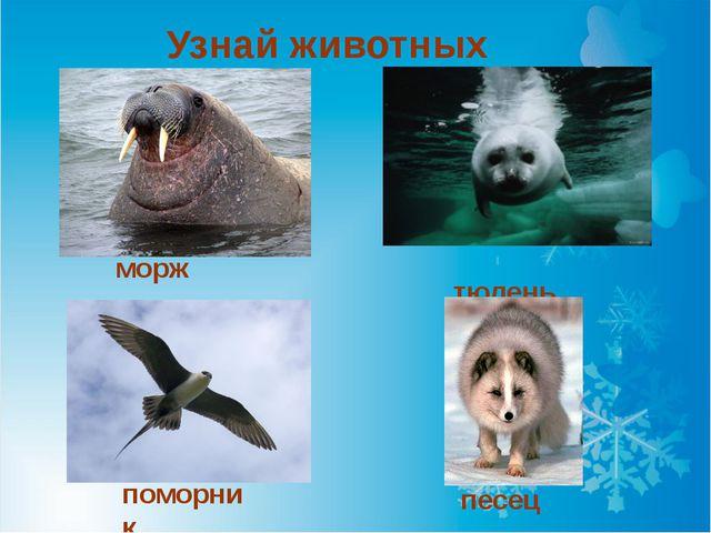 Узнай животных морж поморник тюлень песец