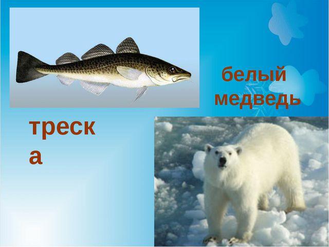 треска белый медведь