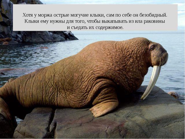 Хотя у моржа острые могучие клыки, сам по себе он безобидный. Клыки ему нужн...