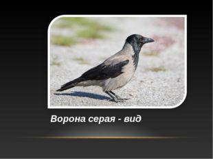 Ворона серая - вид