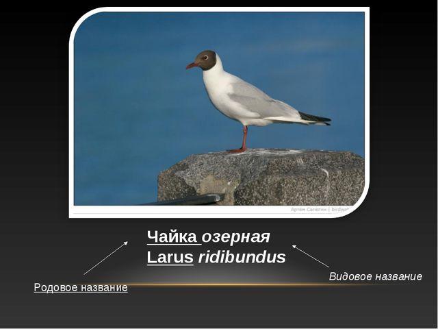 Чайка озерная Larus ridibundus Родовое название Видовое название
