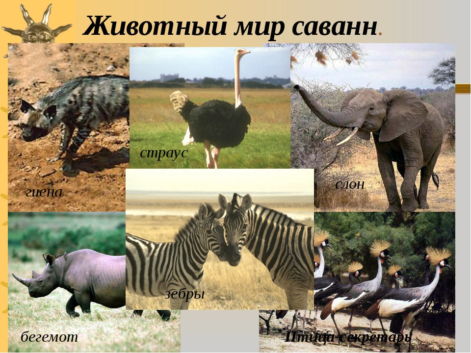 Животный мир саванн. гиена страус бегемот Птица-секретарь зебры слон