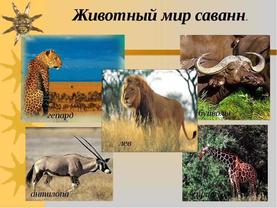 Животный мир саванн. гепард антилопа буйволы жираф лев