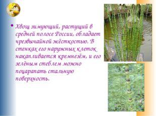 Хвощ зимующий, растущий в средней полосе России, обладает чрезвычайной жёстк