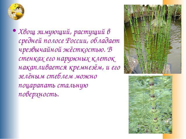 Хвощ зимующий, растущий в средней полосе России, обладает чрезвычайной жёстк...