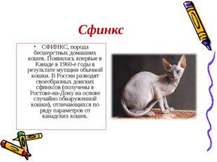 Сфинкс СФИНКС, порода бесшерстных домашних кошек. Появилась впервые в Канаде