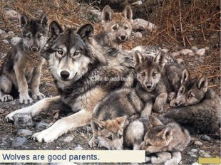 Wolves are good parents. Click to add text