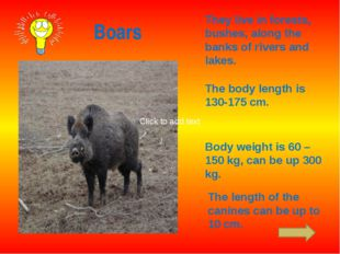 Boars They live in forests, bushes, along the banks of rivers and lakes. The