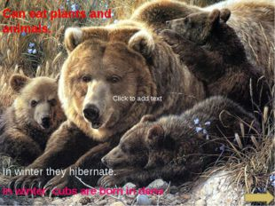 Can eat plants and animals. In winter they hibernate. In winter cubs are bor