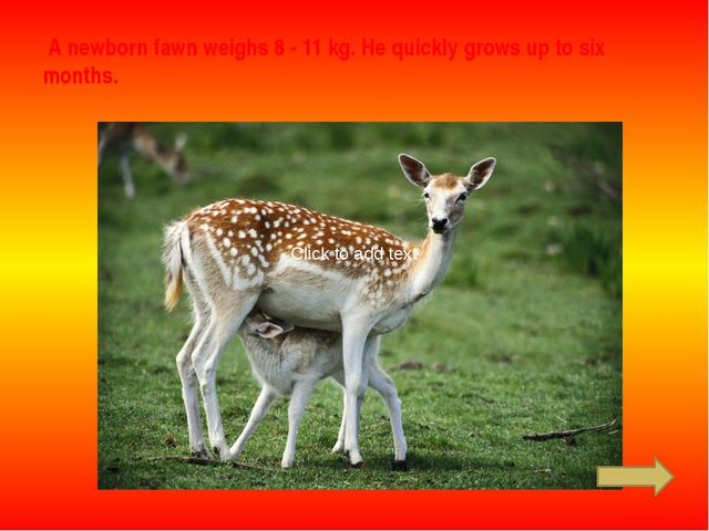 A newborn fawn weighs 8 - 11 kg. He quickly grows up to six months. Click to...