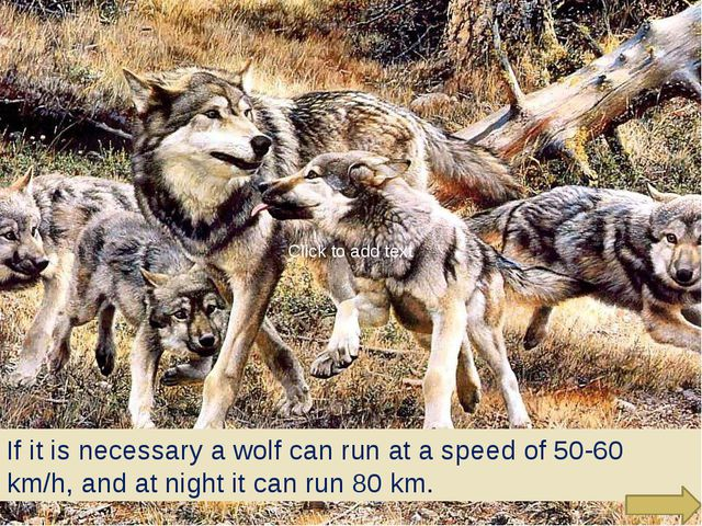 If it is necessary a wolf can run at a speed of 50-60 km/h, and at night it...