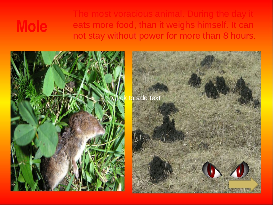 Mole The most voracious animal. During the day it eats more food, than it wei...