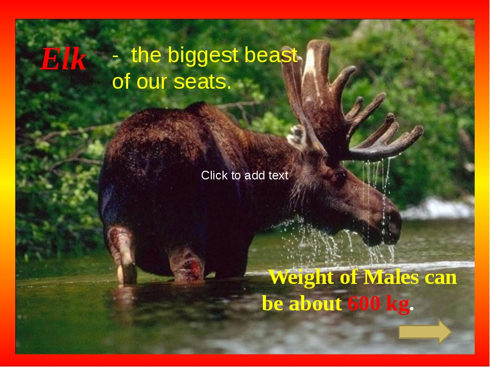Elk - the biggest beast of our seats. Weight of Males can be about 600 kg. C...