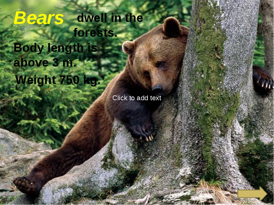 Bears dwell in the forests. Body length is above 3 m. Weight 750 kg. Click t...