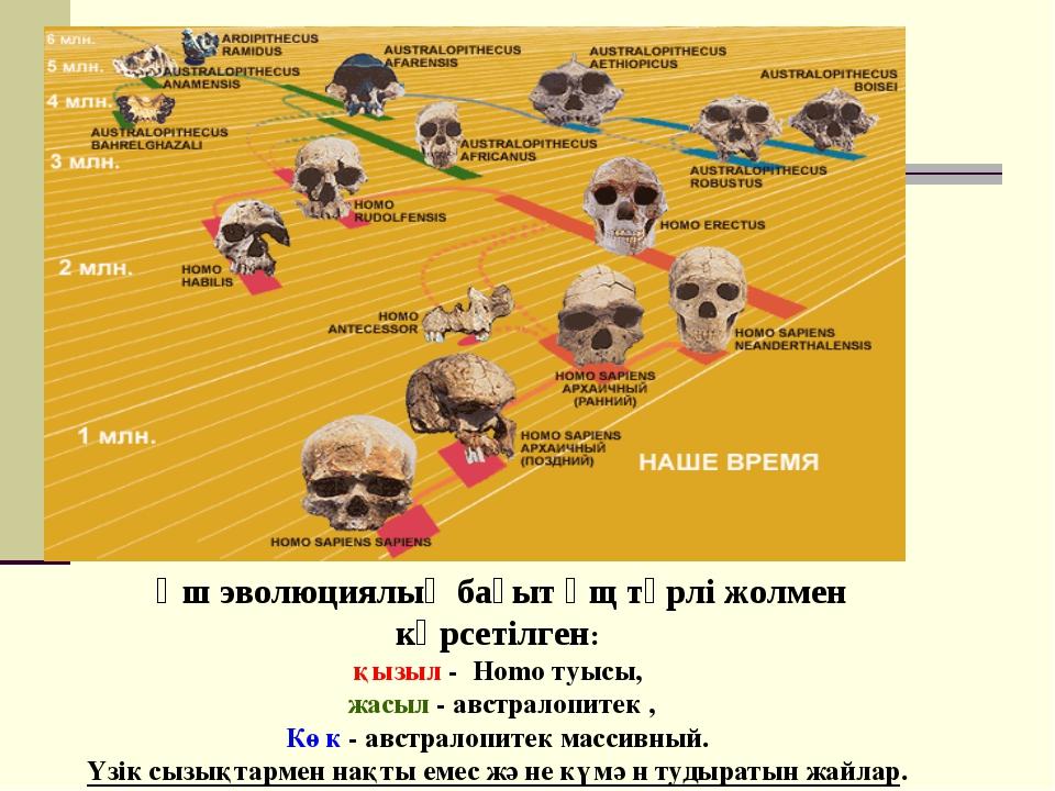 Үш эволюциялық бағыт үщ түрлі жолмен көрсетілген: қызыл - Homo туысы, жасыл -...