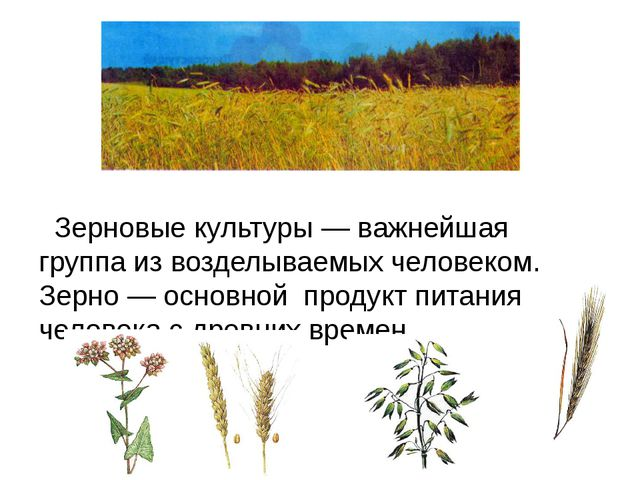 Зерновые культуры — важнейшая группа из возделываемых человеком. Зерно — осн...