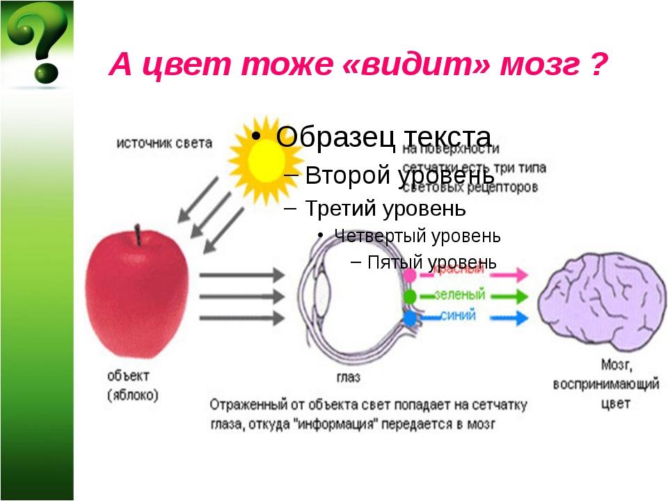 А цвет тоже «видит» мозг ?