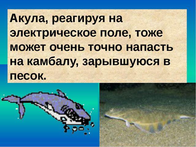 Акула, реагируя на электрическое поле, тоже может очень точно напасть на камб...