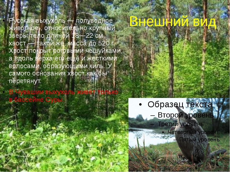 Внешний вид Русская выхухоль— полуводное животное , относительно крупный зве...