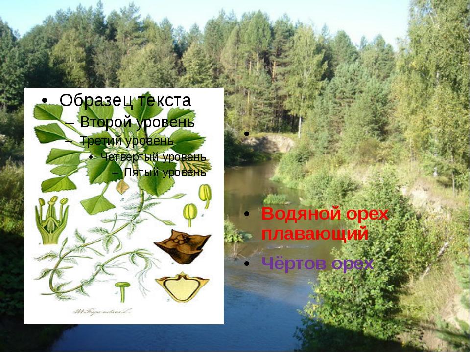 Чили́м Рогу́льник пла́вающий Водяной орех плавающий Чёртов орех