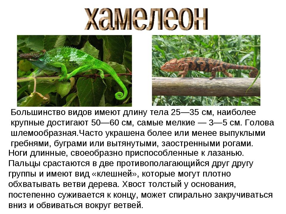Большинство видов имеют длину тела 25—35см, наиболее крупные достигают 50—60...