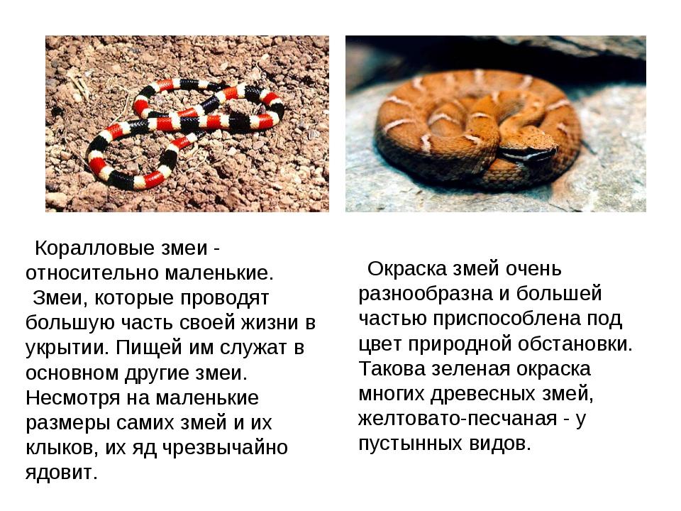 Коралловые змеи - относительно маленькие. Змеи, которые проводят большую ч...