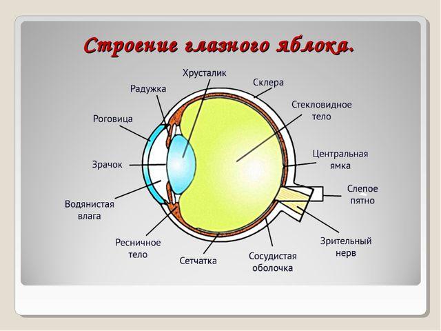Строение глазного яблока.