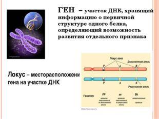 ГЕН – участок ДНК, хранящий информацию о первичной структуре одного белка, оп