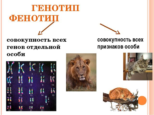 ГЕНОТИП ФЕНОТИП совокупность всех генов отдельной особи совокупность всех пр...