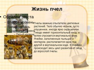 Жизнь пчел Пчелы важные опылители цветковых растений. Тело обычно чёрное, гус