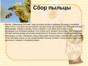 Сбор пыльцы Нектар, собираемый пчёлами, через ротовые органы и пищевод поступ