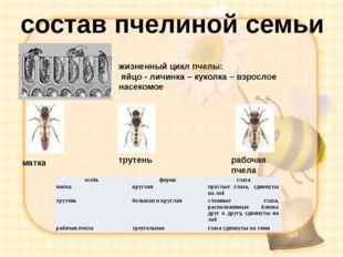 состав пчелиной семьи матка трутень рабочая пчела жизненный цикл пчелы: яйцо